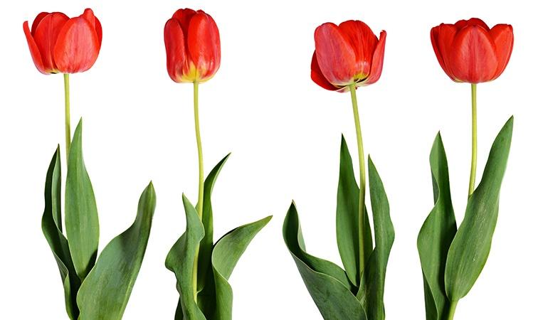 Tulip_image